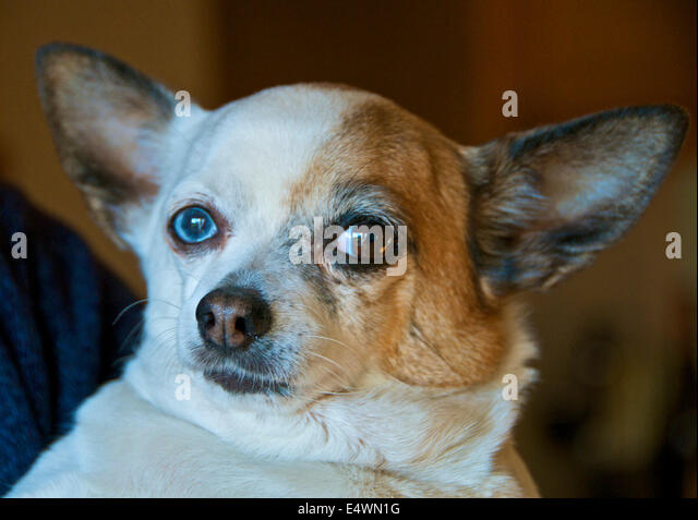 Dog with blue and brown eyes - Stock Image