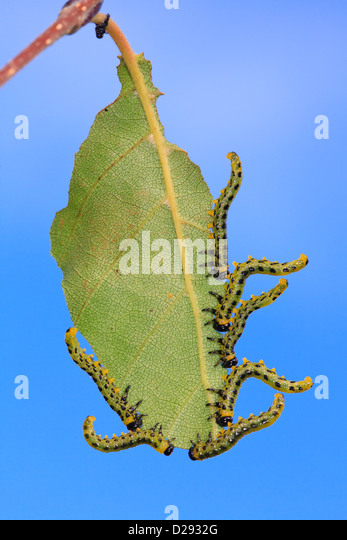 Sawfly larvae Croesus septentrionalis feeding on a birch leaf. Powys, Wales. September. - Stock Image