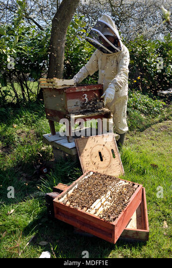 bee keeper inspecting bees in hive in spring - Stock Image