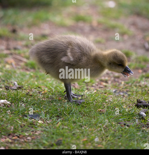 A greylag gosling eating some bread on the bank of the river Ouse in York, North Yorkshire - Stock Image