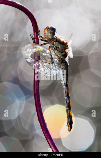 Common darter dragonfly against a background of lights - Stock-Bilder