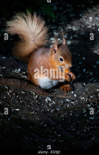 Red squirrel. Kielder forest, Northumberland - Stock Image