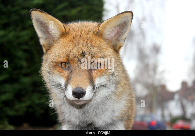 Red Fox Urban, London UK - Stock Image