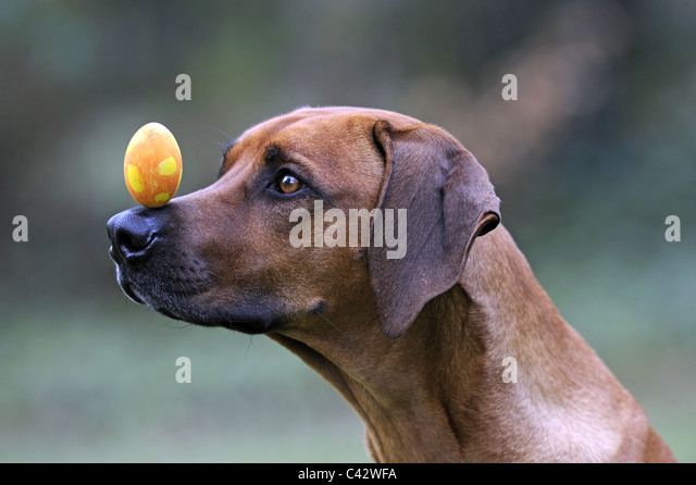 Rhodesian Ridgeback (Canis lupus familiaris). Bitch balances a yellow egg on her nose. Germany. - Stock Image