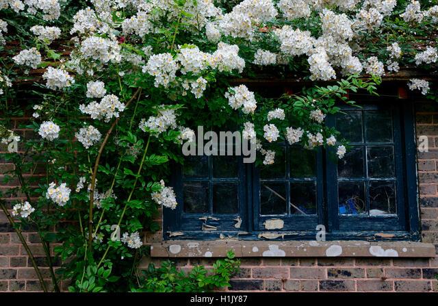 Rambler roses stock photos rambler roses stock images for Haus fenster