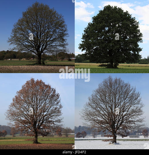 4 seasons composing of an oak tree in landscape, Bavaria, Germany, Europe. Photo by Willy Matheisl - Stock Image