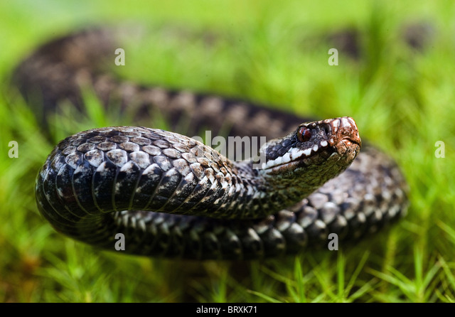 The angered viper. - Stock Image