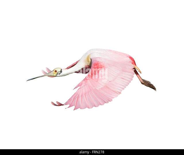 Roseate Spoonbill in Flight isolated on white background - Stock Image