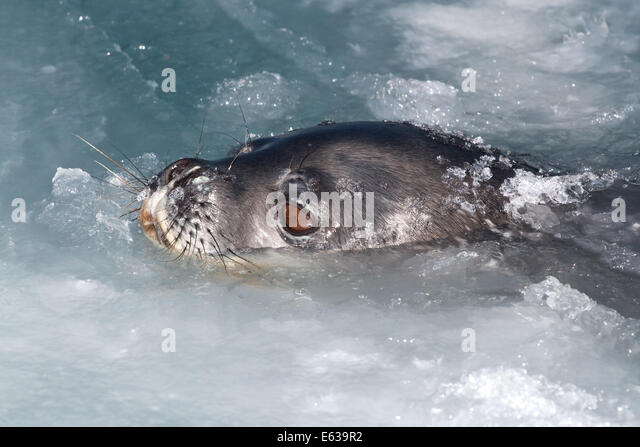 Weddell seal head that popped out of the water and ice winter day - Stock Image