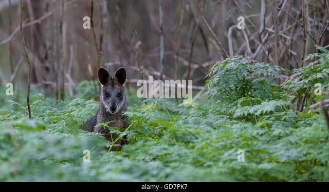 Grey kangaroo in the wild, eating among native Australian vegetation. - Stock-Bilder