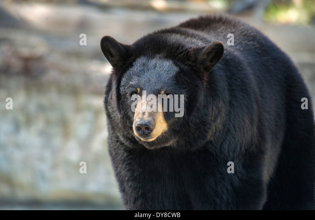 black bear, ursus americanus, bear, animal, USA, United States, America, - Stock Image