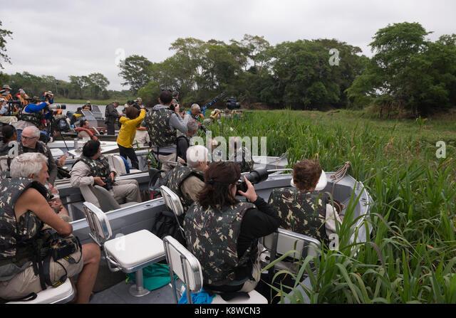 Tourists photograph a Jaguar in North Pantanal, Brazil - Stock Image