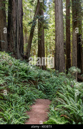 Ferns Along Trail in Calm Forest in early morning light - Stock Image
