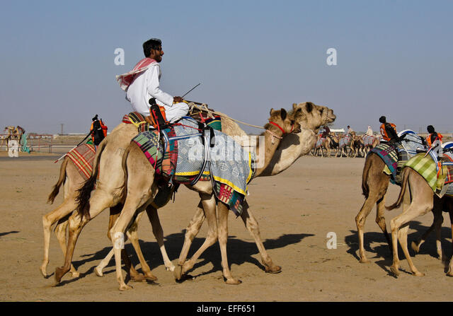 Racing camels with radio-controlled (robot) jockeys at Al-Malagit racetrack, Abu Dhabi, UAE - Stock Image