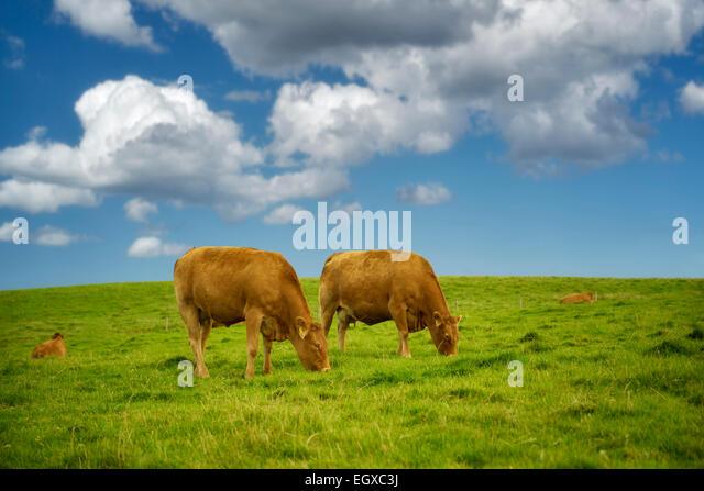 Cows grazing in pasture. Ireland. - Stock-Bilder