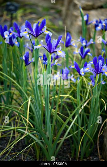 Iris Xiphium - Spanish iris or Dutch iris - Stock Image