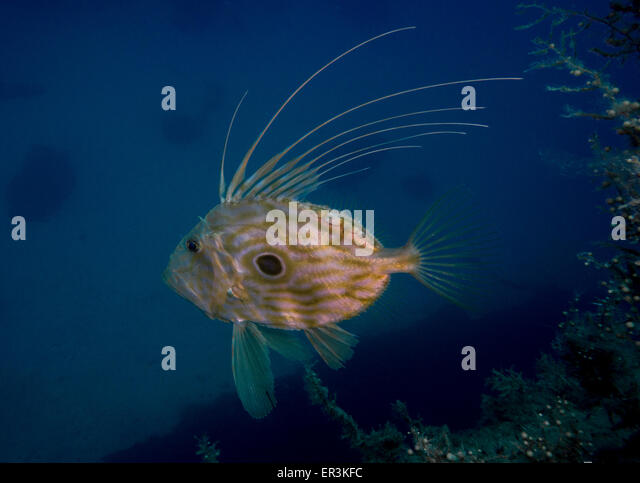Dory fish stock photos dory fish stock images alamy for Picture of dory fish