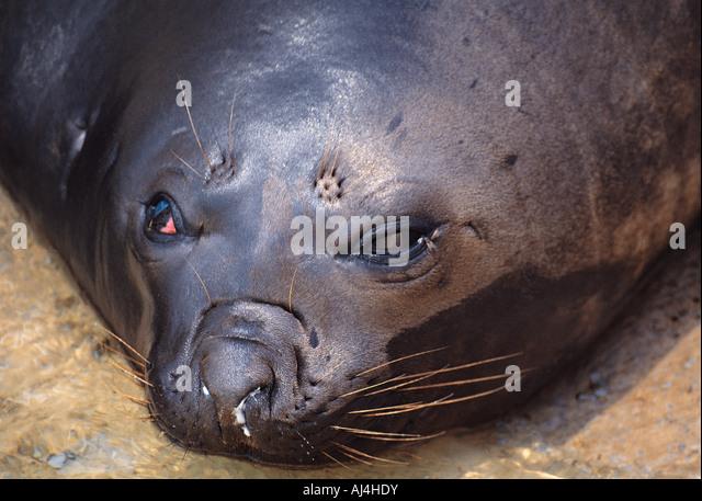 Close up portrait of a Cape Fur Seal Oceanarium Port Elizabeth South Africa - Stock Image
