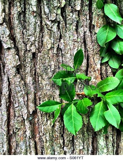 Virginia Creeper vine on a Black Oak tree - Stock Image