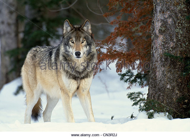 Grey wolf, Canada - Stock Image