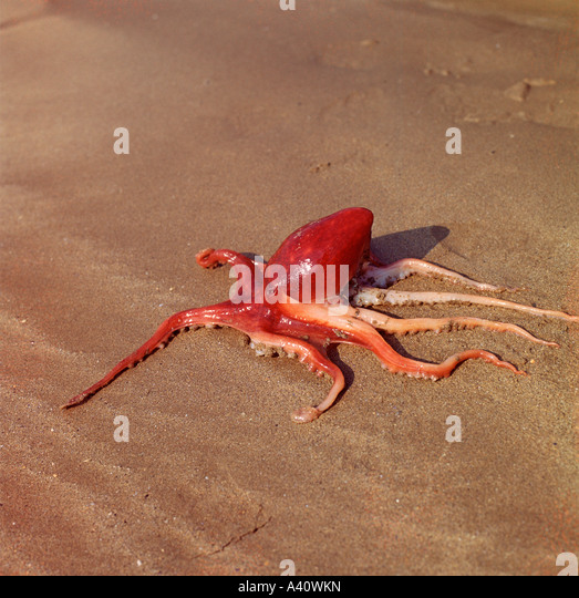 Curled octopus, Eledone cirrhosa, stranded on sandy beach by a very low tide. - Stock Image
