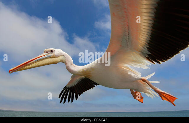 eastern white pelican (Pelecanus onocrotalus), flying, Namibia, Walvis Bay - Stock Image