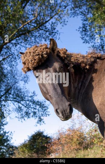 The Netherlands, Ooij, Ooij-polder. Przewalski horse. - Stock Image