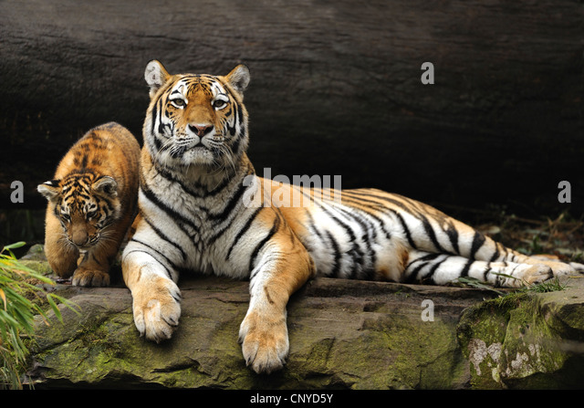 Y Tigers Are Endangered Siberian Tigers Amuria...