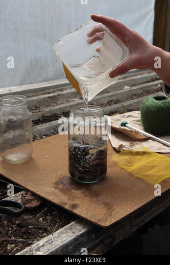 Pre germinating large seeds runner beans step 2 fill the jar with water at about 15 degrees centigrade - Stock Image