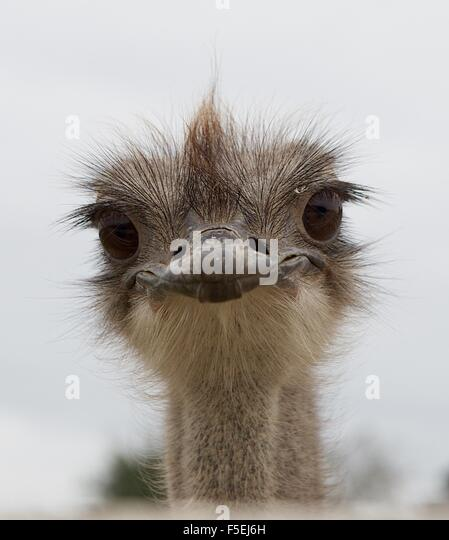 Portrait of an ostrich bird - Stock Image