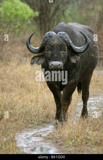 african buffalo syncerus caffer single adult standing in the rain - Stock Image