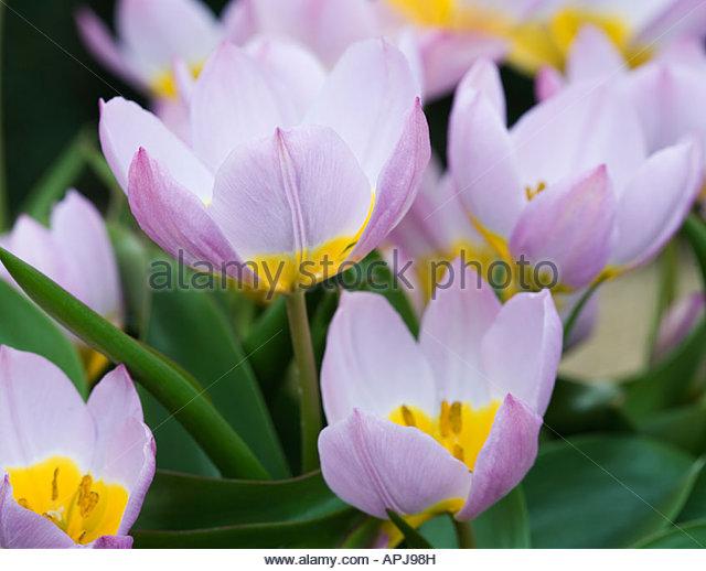 Tulipa 'Lilac Wonder' - Stock Image