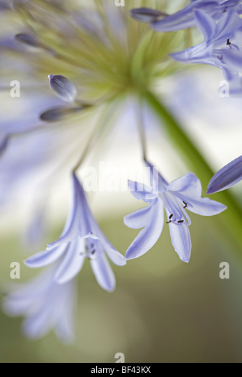 Creative close up of an Agapanthus - Stock Image