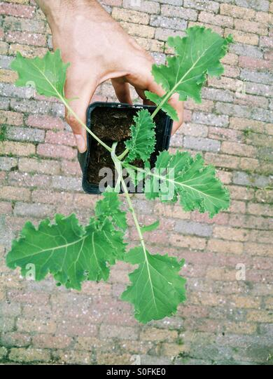 Man holding kale seedling - Stock Image
