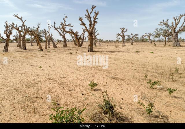 Baobab forest Senegal - Stock Image