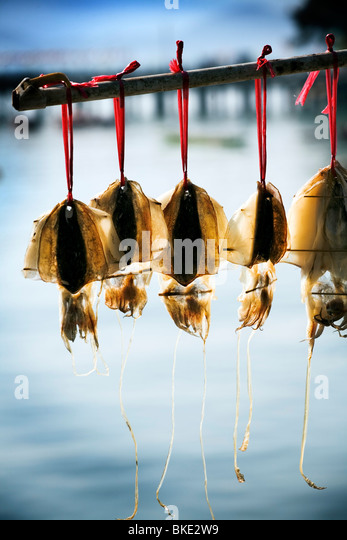 Squid being dried ready for market Thailand Asia - Stock Image