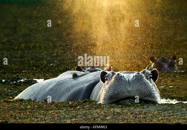 Hippopotamus bathing Okavango Delta Botswana - Stock-Bilder