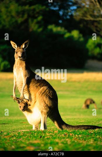 Great Grey Kangaroo and Joey Baby Victoria Australia - Stock Image