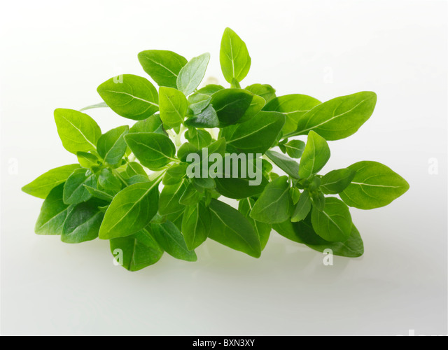 Fresh Greek Basil leaves - Stock Image