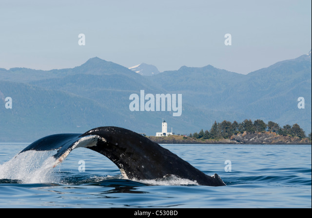 Humpback whale diving with fluke visible and Five Finger Lighthouse in the background, Frederick Sound, Inside Passage, - Stock-Bilder