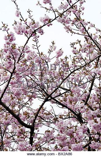 Prunus 'Hokusai' (Cherry 'Hokusai') pink blossom - Stock Image