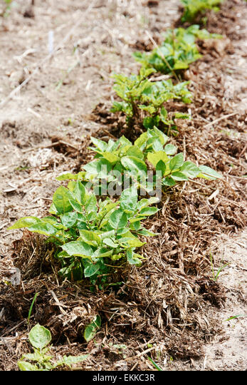 Row of potato plants in June in a vegetable garden. - Stock Image