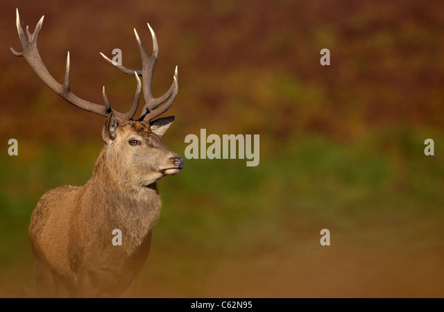 RED DEER Cervus elaphus An adult stag among the autumnal colors of the October rutLeicestershire, UK - Stock-Bilder
