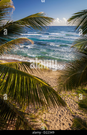 Isabel Beach, Puerto Rico, Palm Trees - Stock Image