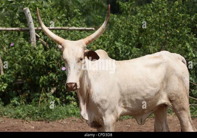 Cattle ranch, Tori, Benin, West Africa, Africa - Stock-Bilder