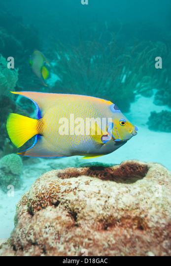 Angelfish swimming at underwater reef - Stock Image
