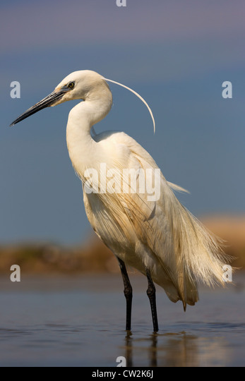 Little Egret(Egretta garzetta).Hungry - Stock Image