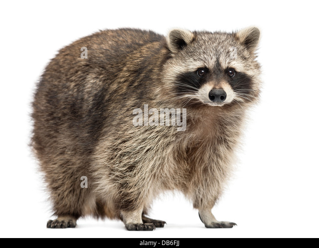 Raccoon, Procyon Iotor, standing against white background - Stock Image