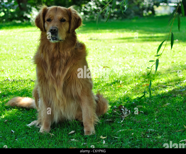 Breed Gold Stock Photos Breed Gold Stock Images Alamy