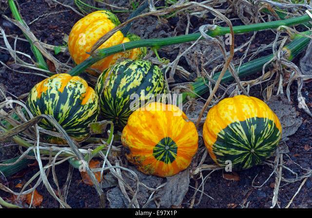 Squash Cucurbita Pepo genus Cucurbita ripe fruit in Autumn - Stock-Bilder
